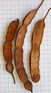 Fig. 1: Frutos de Curupay