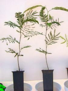 Fig. 5: Plantines en tubetes de 140 cm3 a los 3 meses